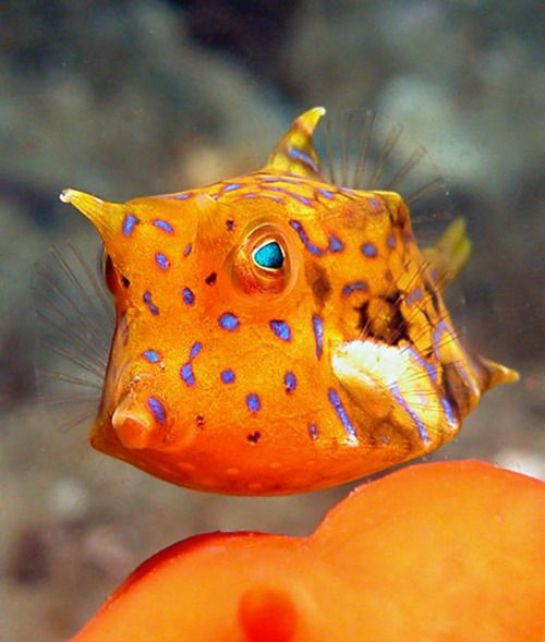 thornback cowfish – Lactoria fornasini ©Dave Harasti – also known as shortspined cowfish, They are found in coral reefs in the Indian and Pacific Oceans.